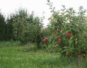 Описание карликового сорта яблони Приземленное, посадка и уход