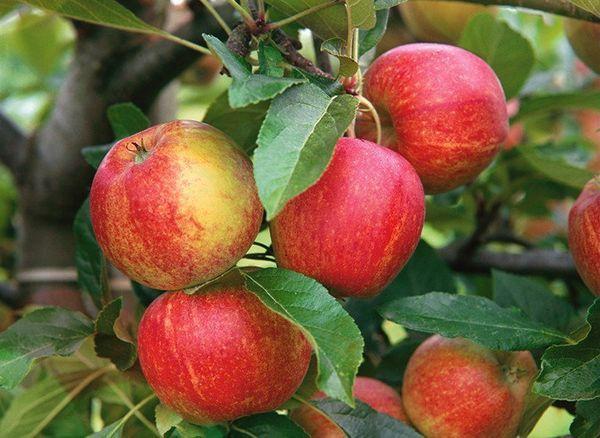 Яблоки Приземленное