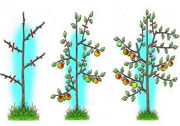 Обрезка яблонь