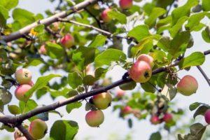 Описание яблони сорта Уралец и правила выращивания штамбовой культуры