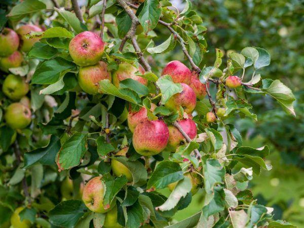 Яблоко Уралец