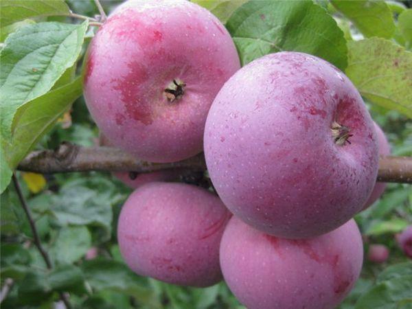 сорт вишневое