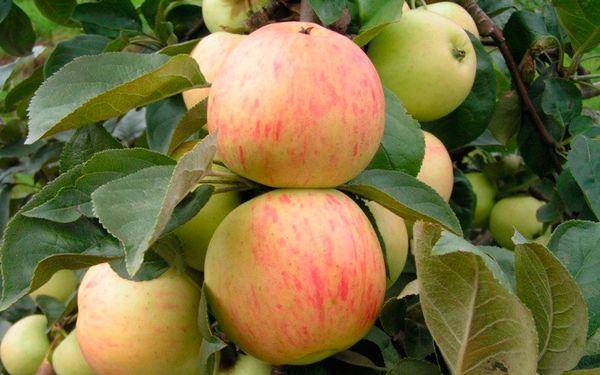 плоды Юбиляр