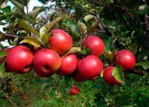 Описание и характеристики яблони сорта Заветное, посадка и уход