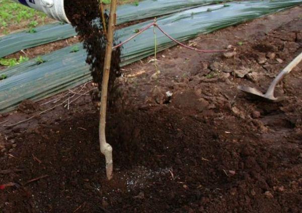 Посадка грушевого дерева