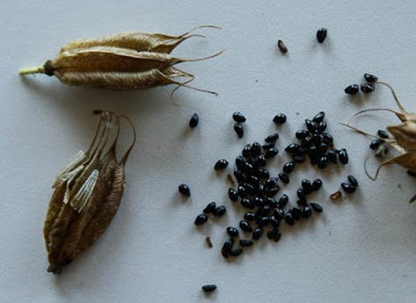 Аквилегия семена
