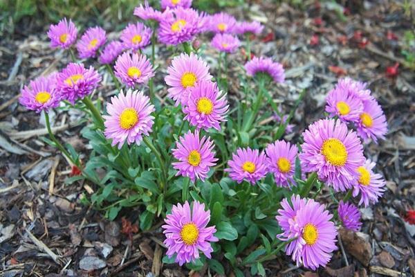цветы иллирия