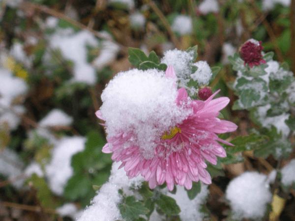 Астры под снегом