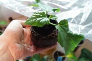 Уход и размножение садового гибискуса, правила посадки и выращивания