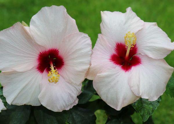 цветы гибикуса