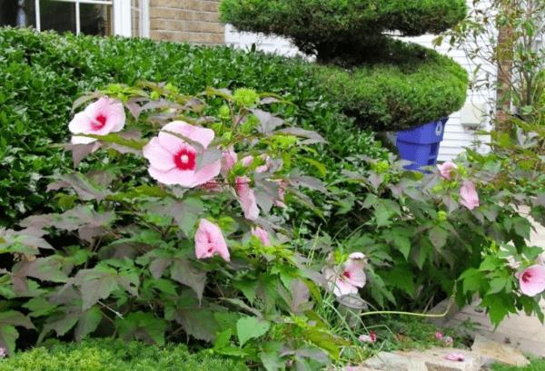 цветки гибикуса