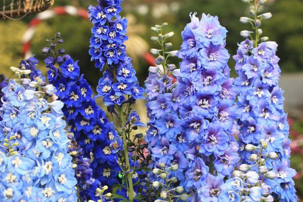 Крупноцветковый ЦВЕТЫ