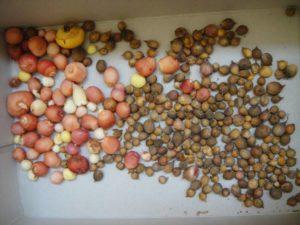 Как размножить гладиолусы семенами, детками и делением луковиц