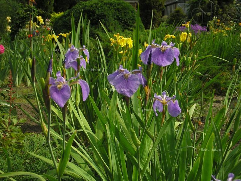 Кассандра цветок