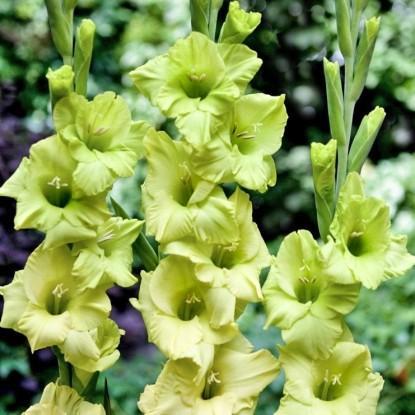 гладиолусы Зеленоцветковые