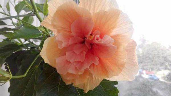 гибискус махровый персиковый