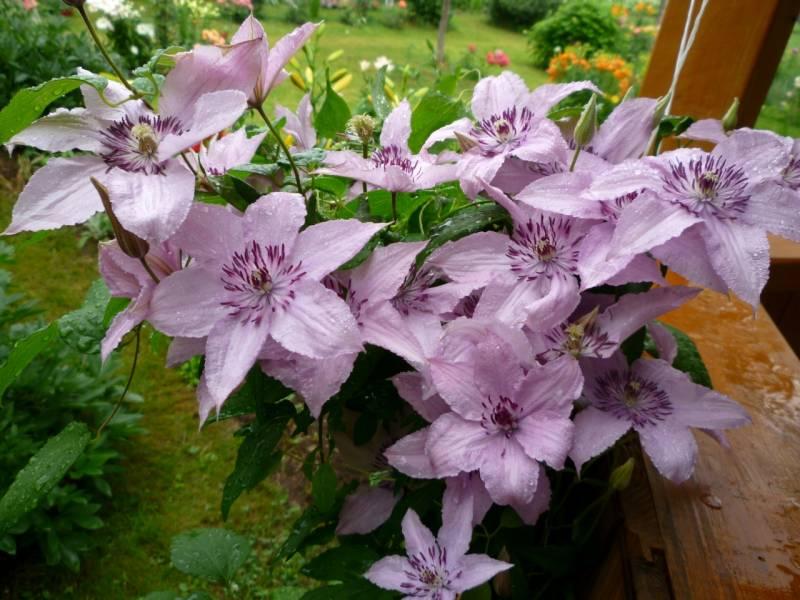 цветы клемантис