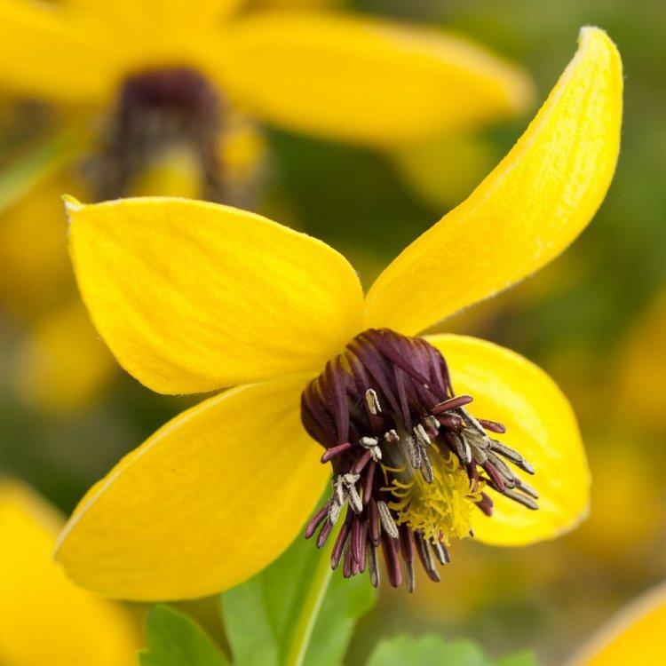 Семена цветка