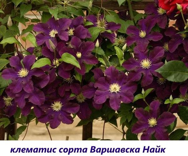 цветы клематис