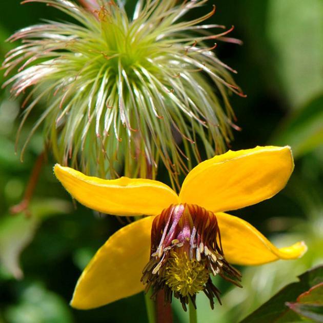 Ауреолин цветок