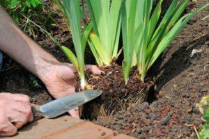 Чем нужно удобрять ирисы до и после цветения, сроки и правила внесения подкормок