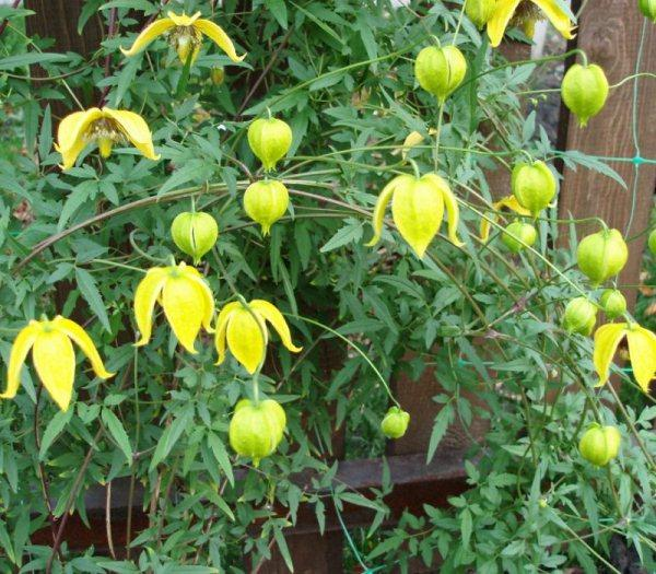 Тангутский цветок