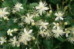 Описание сортов клематиса виноградолистного, посадка и уход, способы размножения