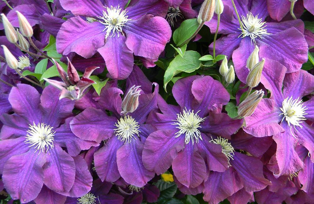Жакмана цветы
