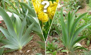 Почему у ирисов одни листья и они не цветут, что делать и как устранить причины