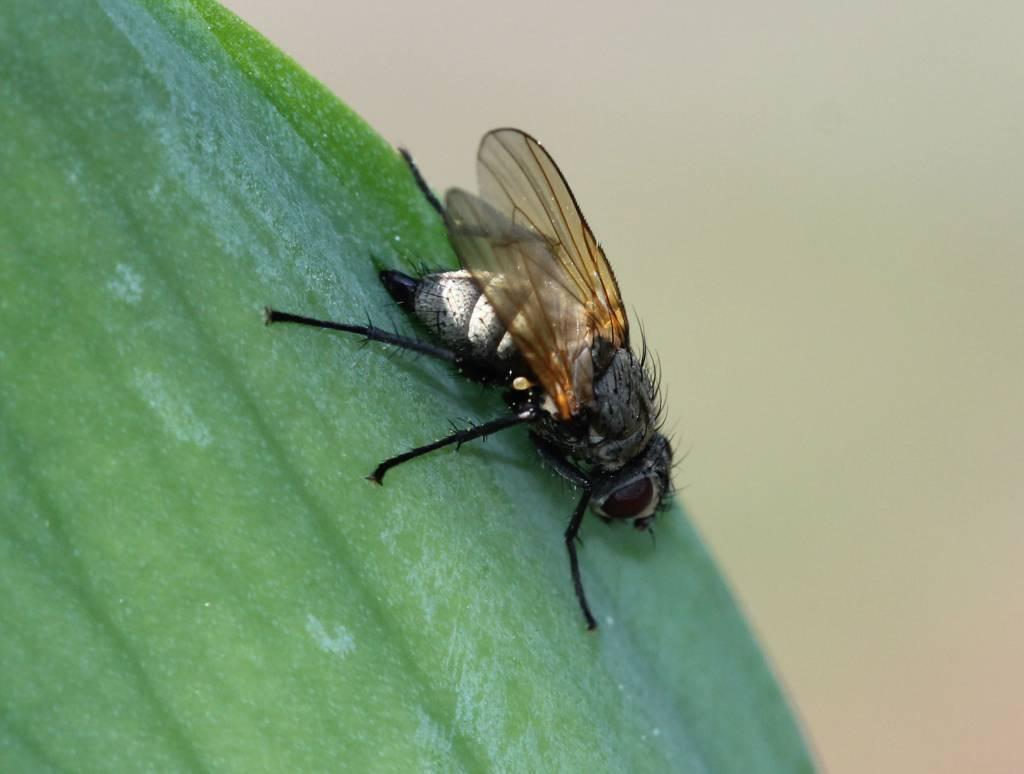 Ирисовая муха и ее личинки