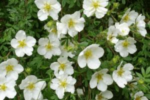 Посадка, выращивание и уход за лапчаткой белой в открытом грунте