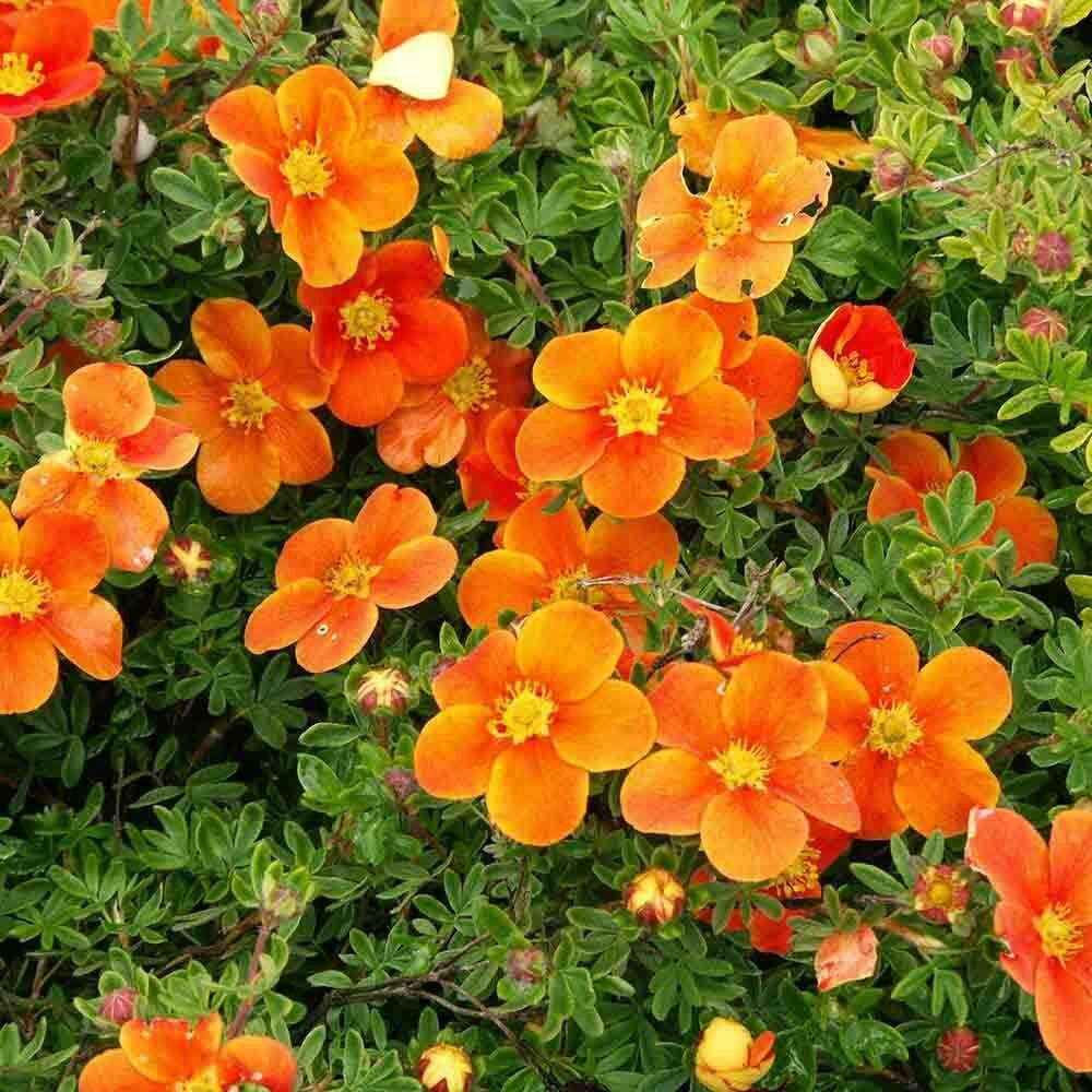 лапчатка оранжевые