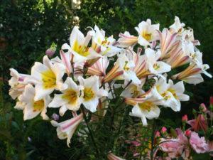Описание и характеристики лилии сорта Регале, посадка и уход в открытом грунте