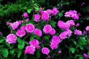 Посадка и уход за парковыми розами в открытом грунте, правила выращивания