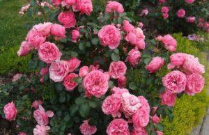 Описание и характеристика розы сорта Леонардо да Винчи, посадка и уход