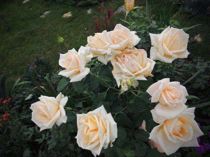 кустовые розы Версилия