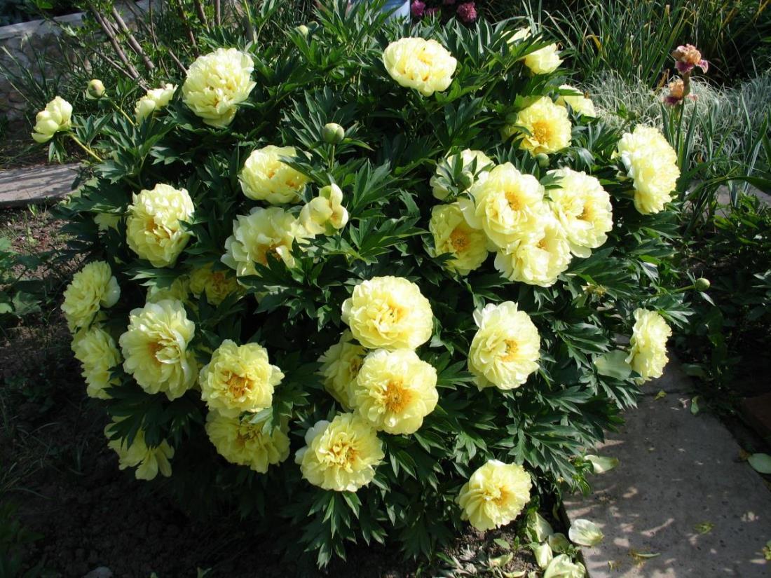 желтые пионы