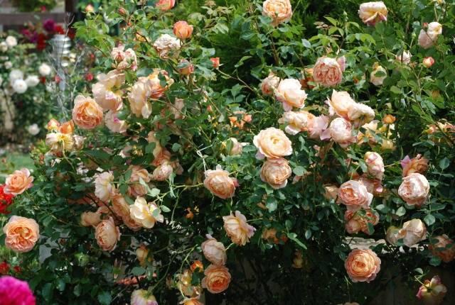 кустовые розы Фламинго