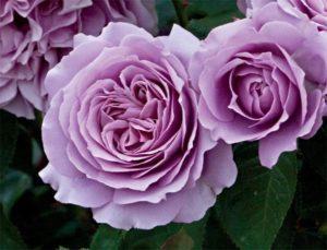 ТОП 12 сортов розы флорибунда, посадка и уход в открытом грунте
