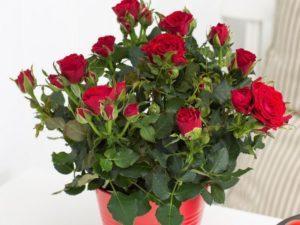 ТОП 4 сорта комнатных роз, их выращивание и уход в домашних условиях
