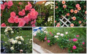 Описание розы Кордана, посадка и уход в домашних условиях