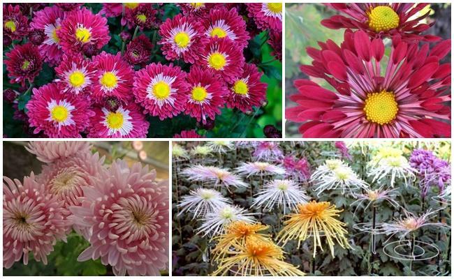 хризантемы красивые
