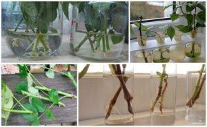 Какими способами вырастить и размножить розу из черенка в домашних условиях