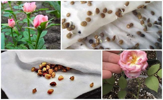 семена роз
