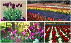 Как можно красиво посадить тюльпаны, схема и идеи для ландшафтного дизайна