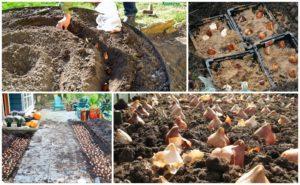 Когда лучше сажать тюльпаны в открытый грунт, сроки по регионам и правила