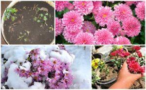 Как правильно подготовить хризантемы к зимовке и способы хранения по регионам