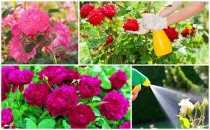 Этапы и правила ухода за розами по сезонам, когда обрезать, защита от болезней