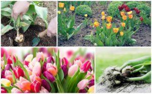 Сроки и правила проведения пересадки тюльпанов осенью, дальнейший уход