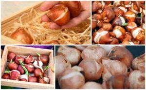 Как нужно подготовить и хранить луковицы тюльпанов, возможные трудности